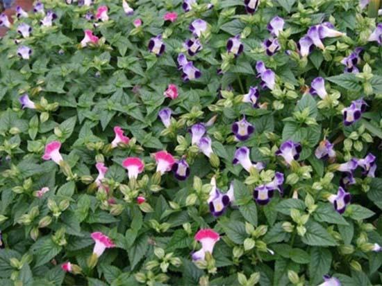 景观花卉求购
