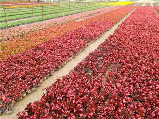 郑州景观花卉价格