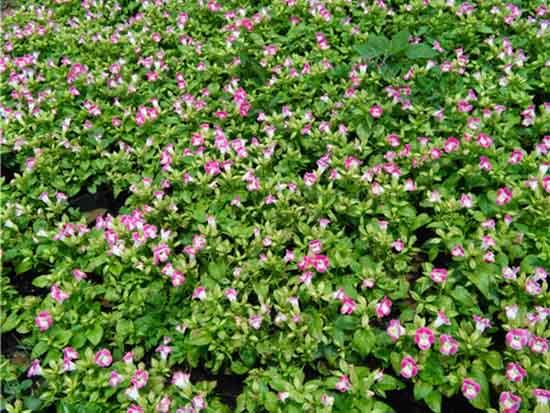 河南景观花卉价格