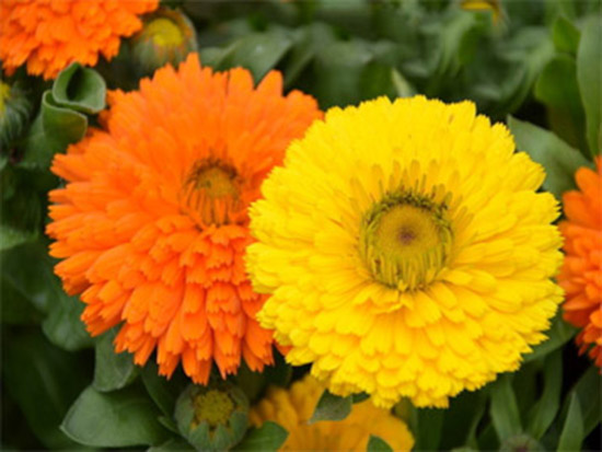 四季草花种类