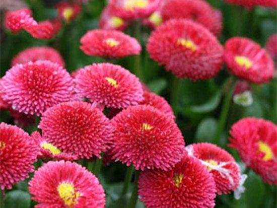 鄭州草花種植