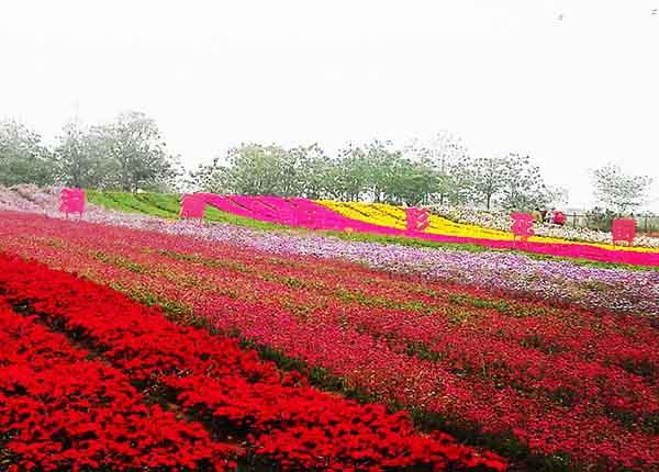 花卉花坛品种