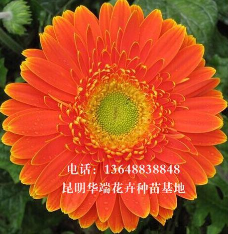 云南非洲菊