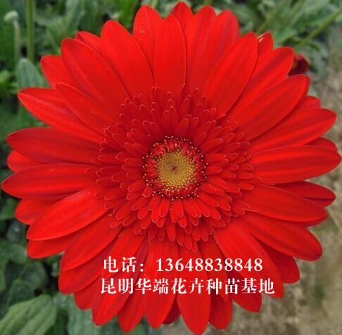 昆明非洲菊