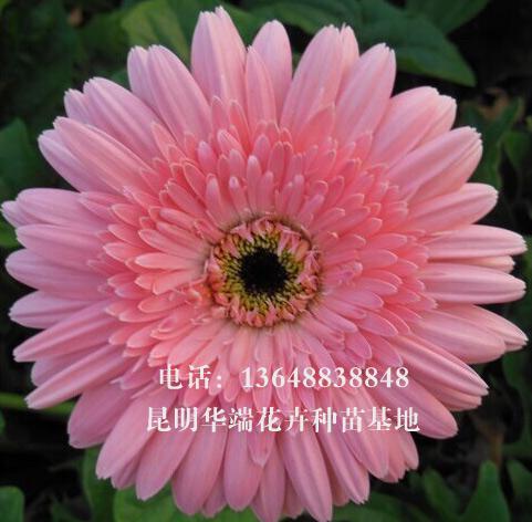 非洲菊花语