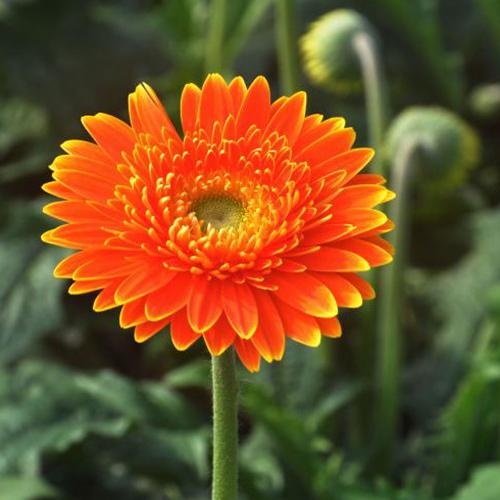 昆明非洲菊种苗种植