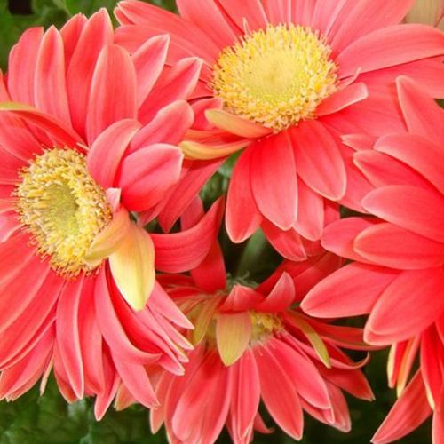 云南非洲菊种苗