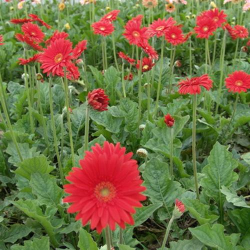 云南非洲菊种苗价格