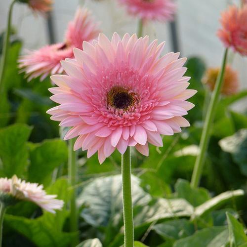 云南非洲菊种苗种植