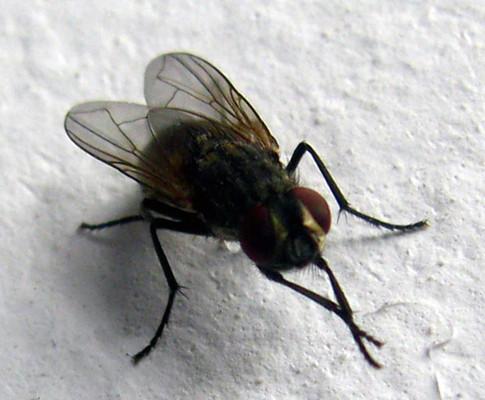 专业灭苍蝇