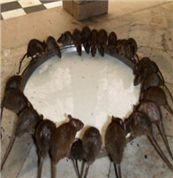 武汉灭老鼠