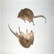 武汉灭鼠公司