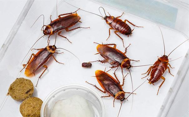 武汉杀蟑螂公司