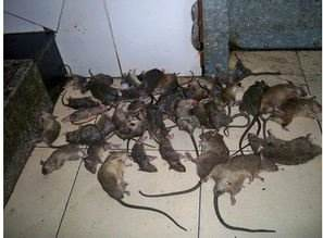 武汉超市怎么灭鼠