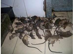武汉灭鼠一次多少钱
