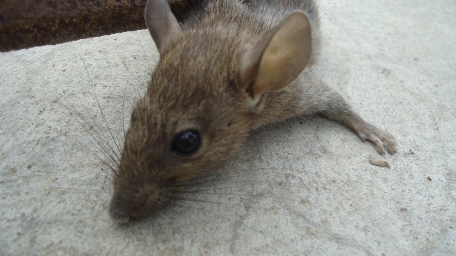 武汉小区灭鼠