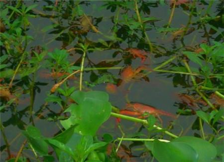 龙虾池塘养殖技术