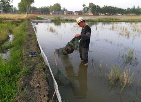 龙虾池塘养殖