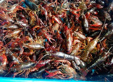 龙虾苗价格