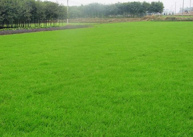 大量种植草皮