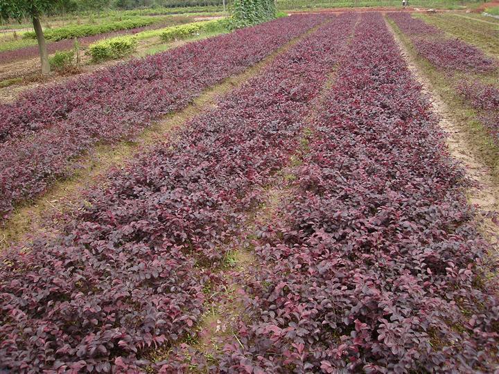 红花檵木价值