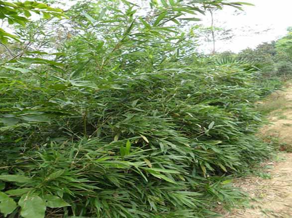 风景竹盆栽