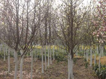 栽培苗木技术