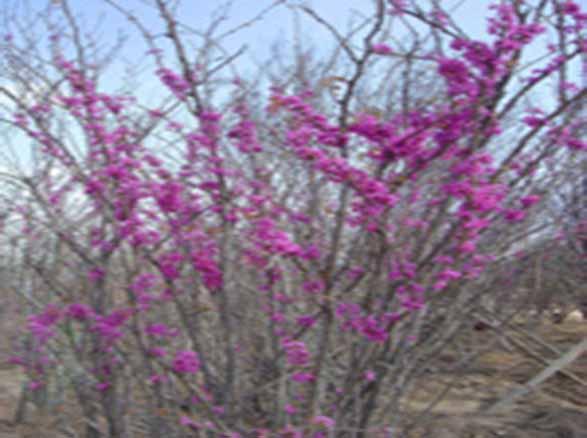 潢川紫荆苗木种植