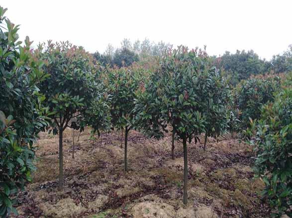 河南苗木基地重种植