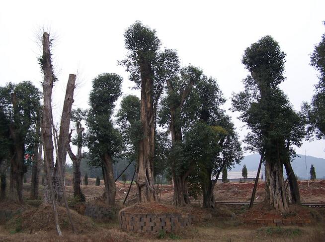 景观树造型价格