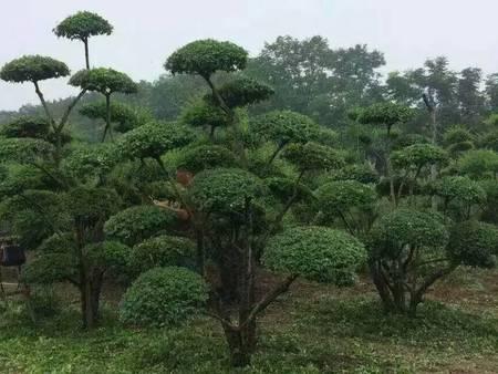 景观树造型