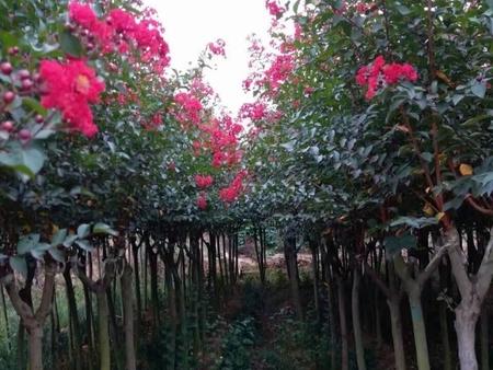 紫薇树苗基地