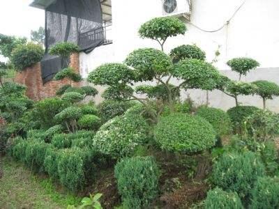 景观造型树