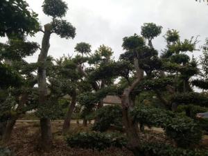 哪有景观树造型