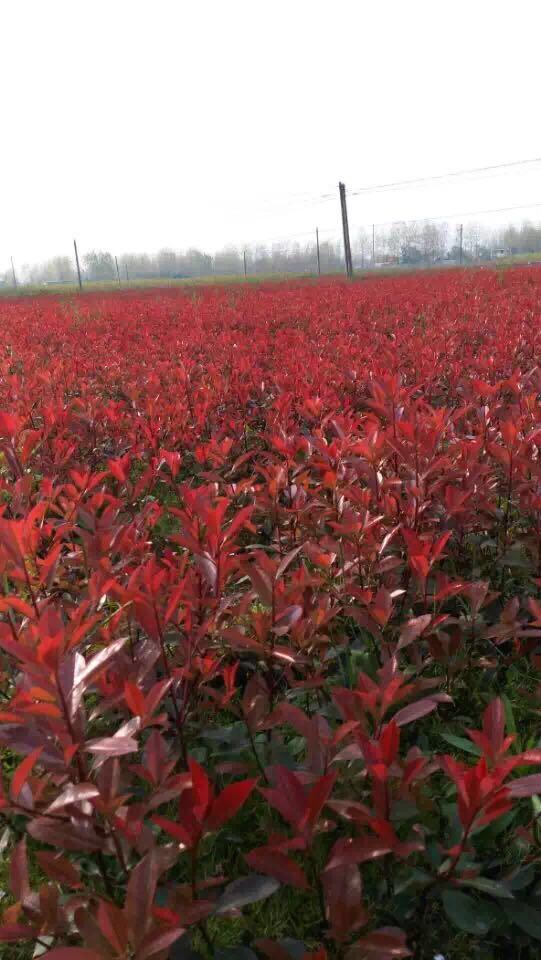 潢川红叶石楠苗木
