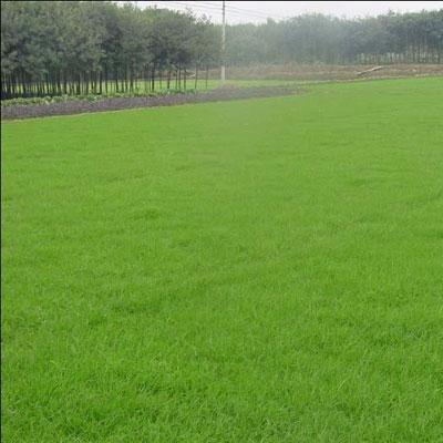 石家庄天然草坪