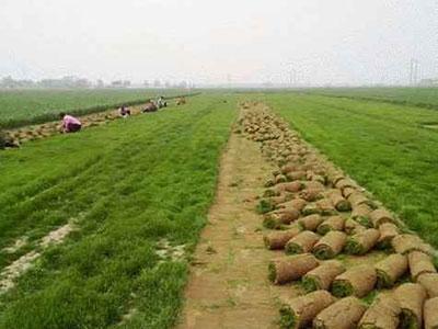 石家庄草坪卷
