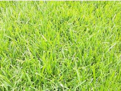 河北早熟禾草坪