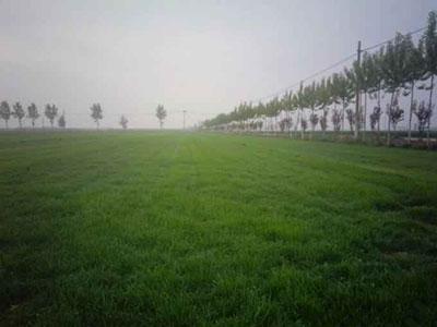 百思特草坪