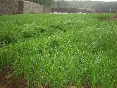 河北高羊茅草坪