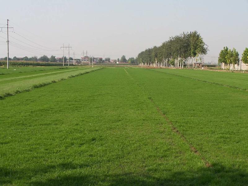 河北冷季型草坪