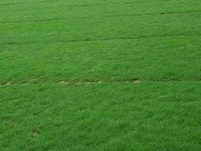 石家庄草坪种子