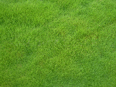 河北草坪种子