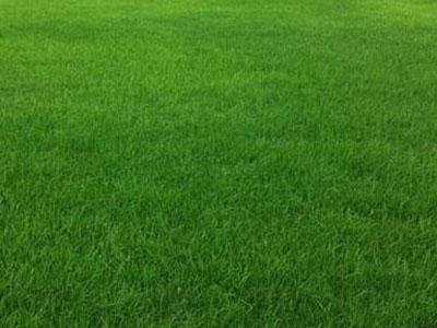河北草坪销售