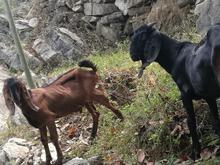 黑山羊生态牧业