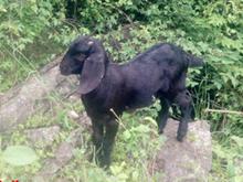 金堂黑山羊肉羊