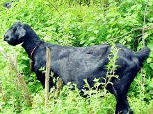努比亚黑山羊肉羊