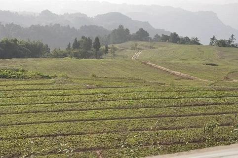 柴胡苗种植现场