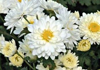 杭白菊中药材种植供应