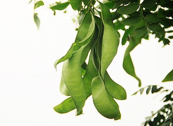 皂角树苗种植效益分析